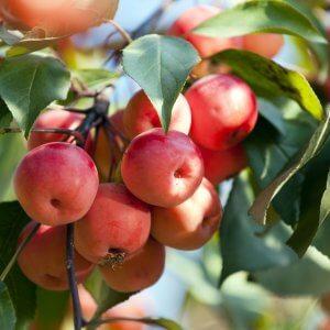 Chestnut Crabapple Apple Tree