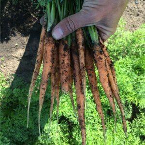 wozupi tsa carrots