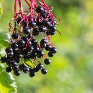 American Black Elderberry Bush