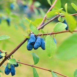 Berry Blue Honeyberry Bush