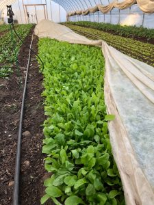 Spinach in high tunnels at Wozupi